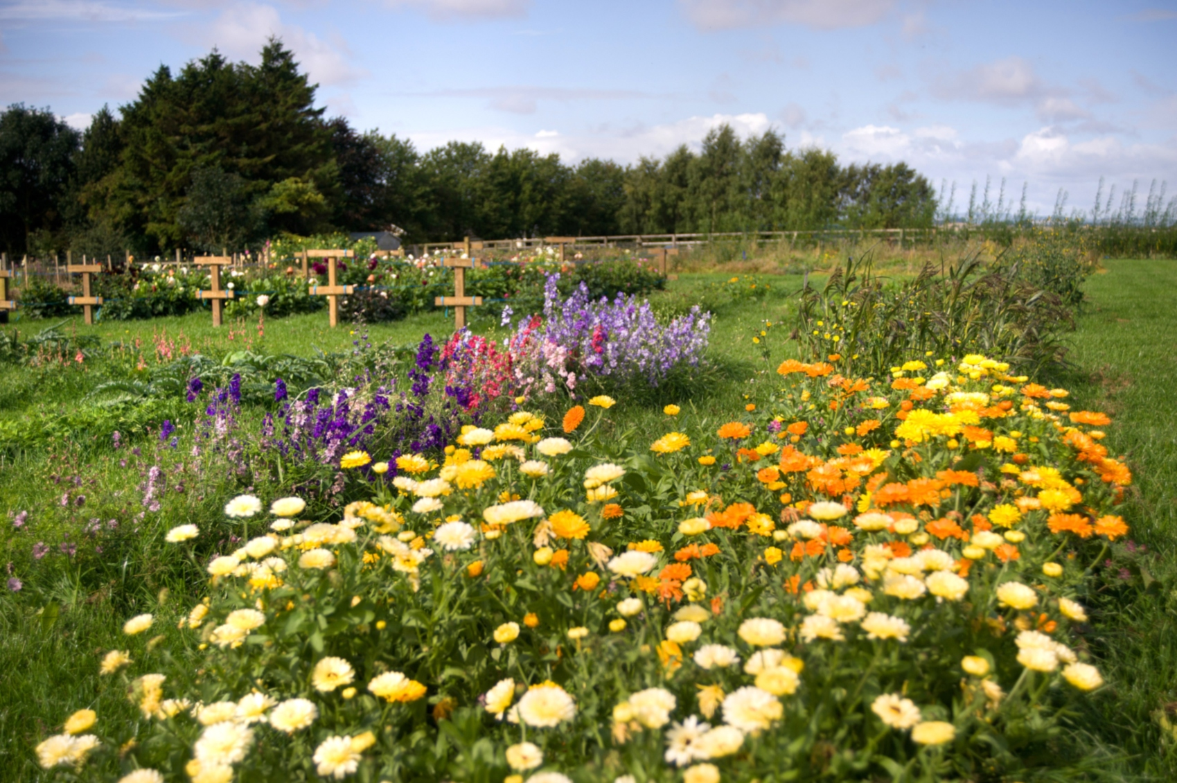 The flower fields in the English countryside at Ginger House Garden in Northumberland, England.
